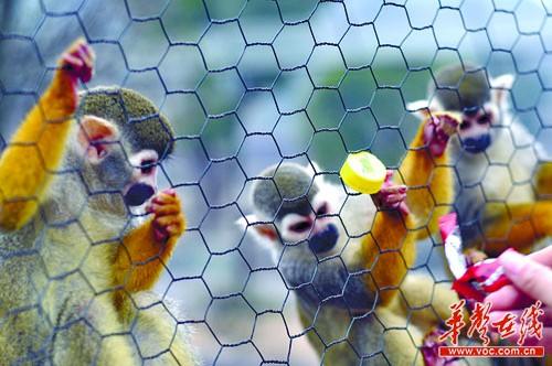 1月22日,长沙生态动物园,不管游客丢的是食物还是垃圾,小猴子们都