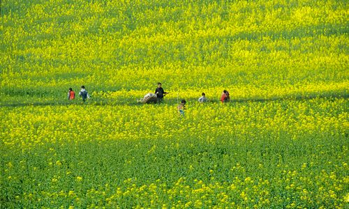 春天的阳光洒满大地,金黄色的油菜花中