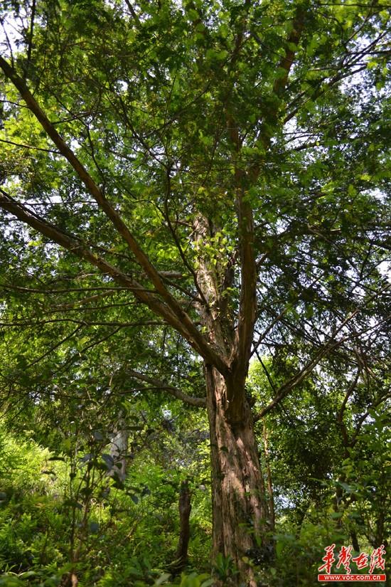 南方冬天树木保护