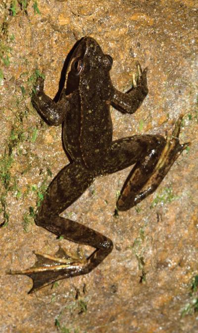 罕见洞穴青蛙完全生活在地下