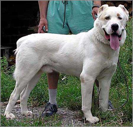 最凶猛的犬_2,世界上最凶猛的犬种 比特犬