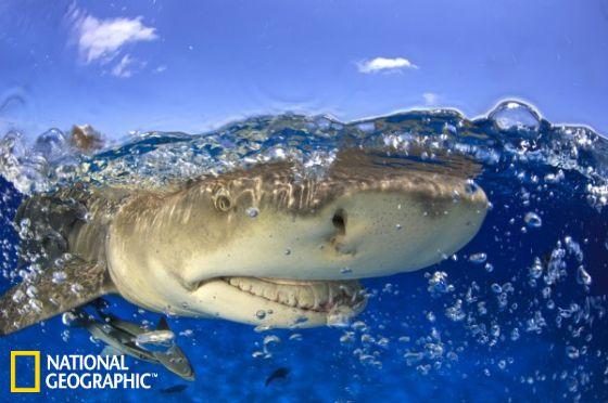 许多人对鲨鱼的攻击非常恐惧,但实际上鲨鱼很少主动攻击人类。一些专家称,在遇到鲨鱼袭击的时候用拳头击打鲨鱼眼睛,可以将其赶跑,但暴力并不是最好的策略。科学家发现,在轻弹柠檬鲨背部的时候,这些海中霸王会在大概15秒内变得软弱无力,进入装死状态。这使科学家有足够的时间在它们身上做实验。   中美洲丽鱼   如果你的金鱼一动不动,那或许它真的是在睡觉,但中美洲丽鱼只会在诱捕猎物的时候才会装死。这种水下掠食性鱼类具有错综复杂的图案,使其看起来像是一条正在腐烂的鱼,这也就吸引了许多食腐动物前来。当中美洲丽鱼奇迹般
