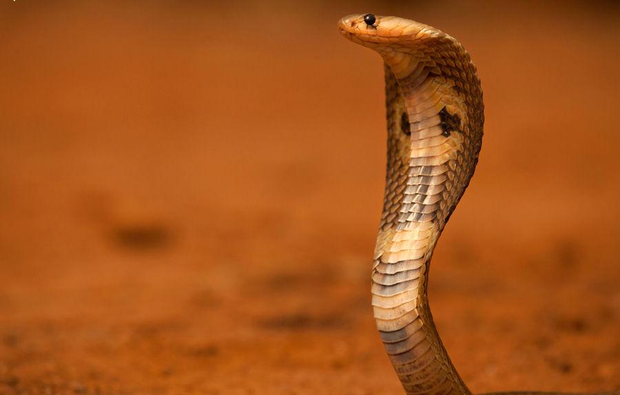 眼镜王蛇蛇头图案纹身分享展示