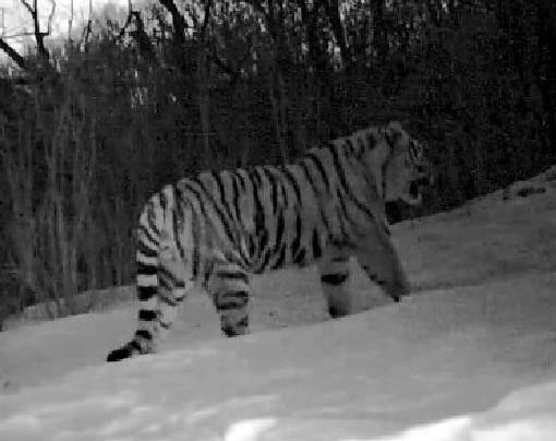 吉林珲春保护区连续拍摄到东北虎影像