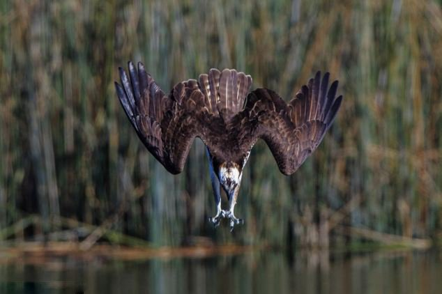 鱼鹰高速俯冲捕鱼