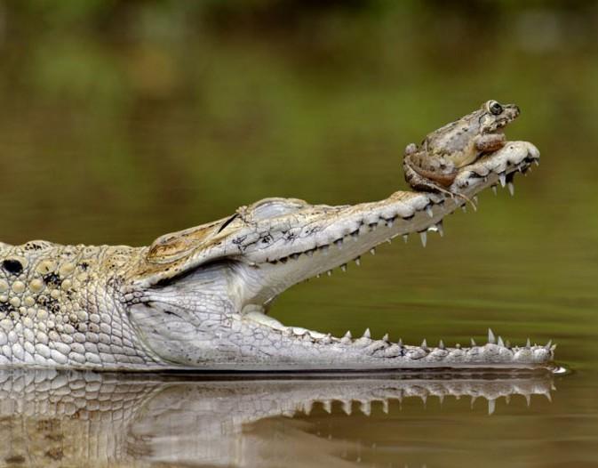 青蛙坐在鳄鱼鼻尖逃生
