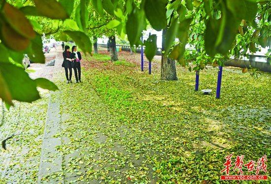 常绿树较常见的有桂花,广玉兰,还有香樟树.