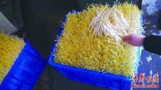 长沙警方查扣的问题豆芽,比普通豆芽更白更壮。   一株花生苗,从播种、成长至可以食用,正常周期大约两周。然而,隐藏在长沙各地的21个地下黑作坊,违法使用生长激素等添加剂生产花生苗、豆芽,生长周期被缩短将近一半。催生出来的花生苗凭借长、白、壮的良好卖相,日销千余斤。   3月26日,长沙警方通报生产、销售问题豆芽和问题花生苗案,长达2个月的查处行动共捣毁黑窝点21个,查扣问题豆苗23.
