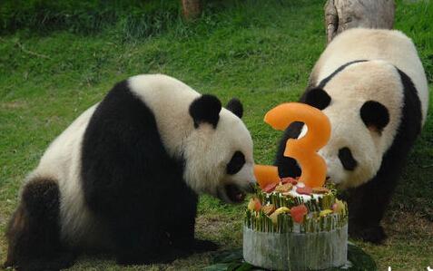 [新闻碉堡]大熊猫如何由怪兽变国家象征