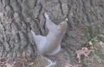 搞笑/实拍醉酒松鼠搞笑爬树