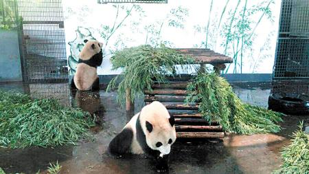 """长沙动物园熊猫馆现""""真假竹子"""" 两熊猫难辨/图"""