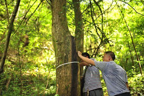 城步发现野生红豆杉群