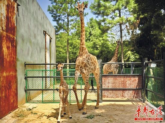 刚出生几天的长颈鹿宝宝弟弟。记者 童迪 彭可心 摄   核心提示   在动物园里,有着长长脖子的长颈鹿无疑是大人小孩最喜爱的动物之一。长沙生态动物园的长颈鹿群体日前又添两名新丁姐姐和弟弟。姐弟俩刚生下来身高就在一米七以上。目前,这对刚出生的姐弟俩还没有正式的名字,如果你有好的想法,赶快告诉我们吧!