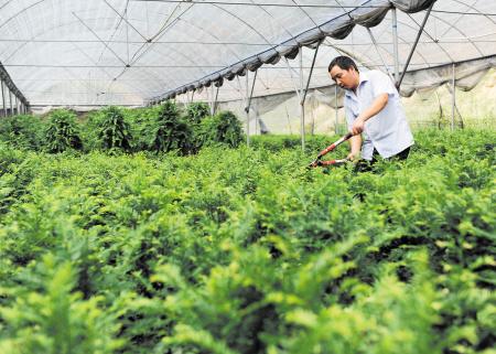 他让植物大熊猫—红豆杉走进千家万户