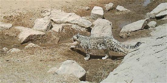 科研人员首次在罗布泊南部山区拍到雪豹照片