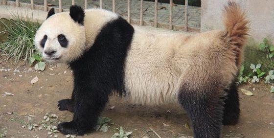 熊猫交配实况全球首播 7分45秒破纪录