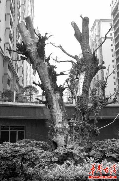 脱落树皮的树干非常光滑,没有出现开裂,在树干顶端一树杈处,长有一丛