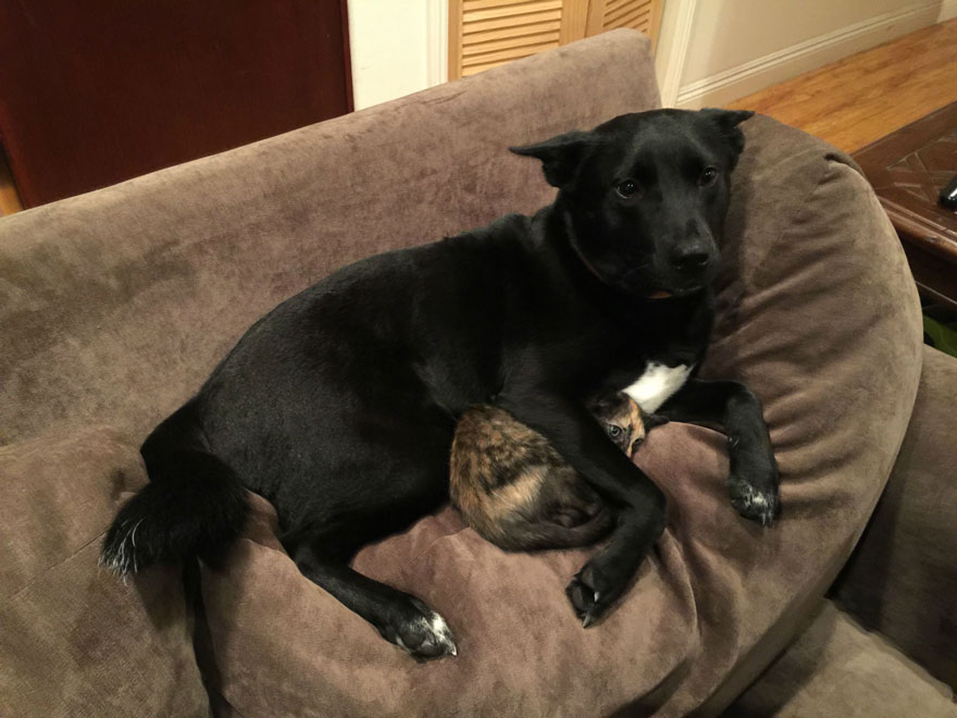 狗狗保护受惊吓的小猫