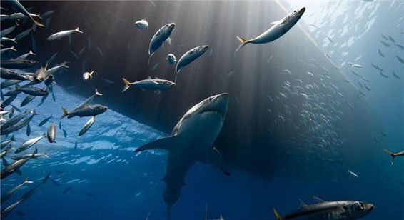 史上最大鲨鱼最新图片曝光