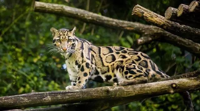 云豹属于哺乳类的猫科动物