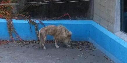 北京动物园狮子被曝骨瘦如柴 园方:一直很瘦