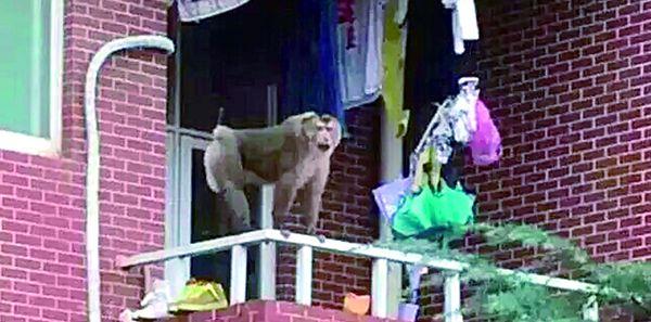 长沙理工大学猴子出没 老虎还会远吗?