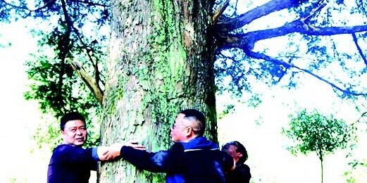 平江现中南地区最大天然红豆杉群