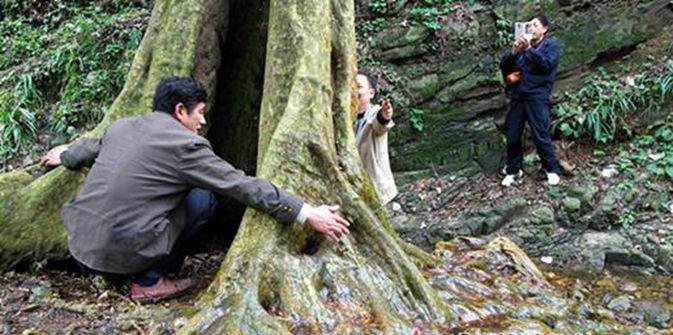 永州现湘南最大的紫薇树 树龄或上千年