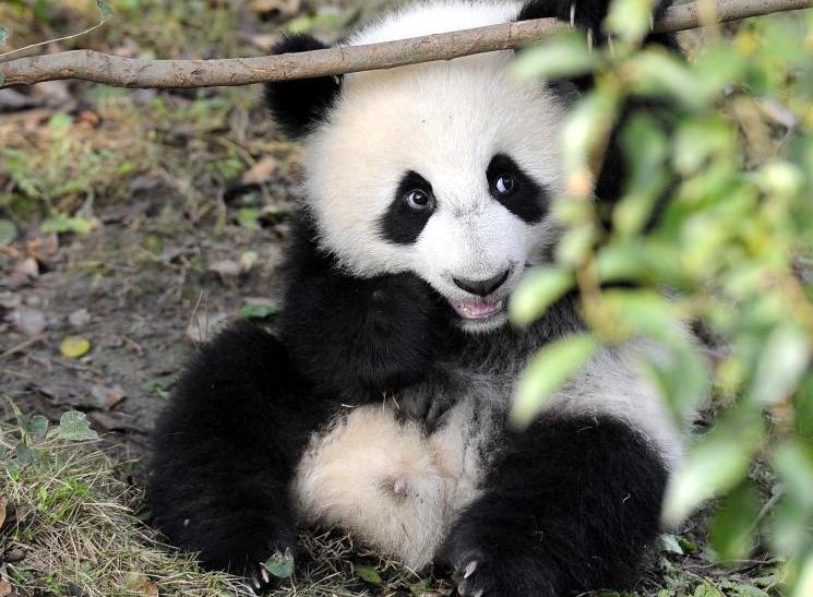 大熊猫晒太阳卖萌 憨态可掬
