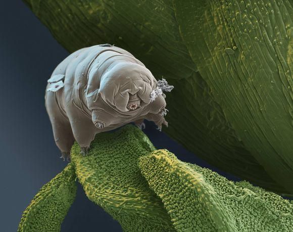 据英国《独立报》1月17日报道,日本国家极地研究所的科学家们成功复活了冰冻30年的缓步动物(俗称水熊虫)。这些缓步动物是1983年在南极洲发现的。这项研究发表在近期出版的《低温生物学》杂志上。 据报道,科学家们成功地将一个卵子和一个活体动物复活。两星期后,这个活体动物开始移动并吃食。这个卵子又产了另外19个卵子,其中孵化成功的有14个卵子。研究者称,这些孵化出的新生幼仔并无缺陷和异常。