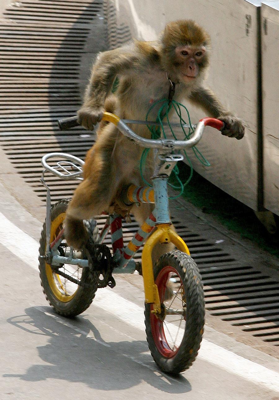 """生动物园,一只猴子为""""五一""""黄金周期间前来游玩的游客展示高超图片"""