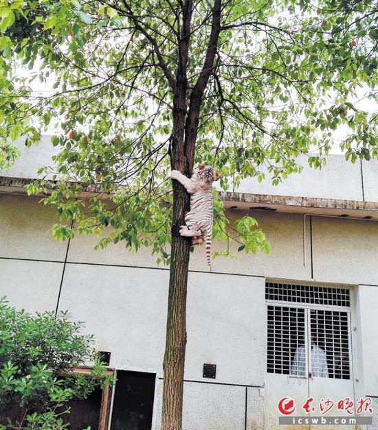 目前动物园的小白虎之所以能利索爬树