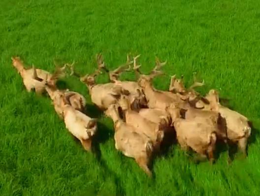 视频:洞庭拍到14头麋鹿