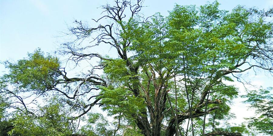 江华惊现一株树龄逾600年的明代桂花树 香飘十里