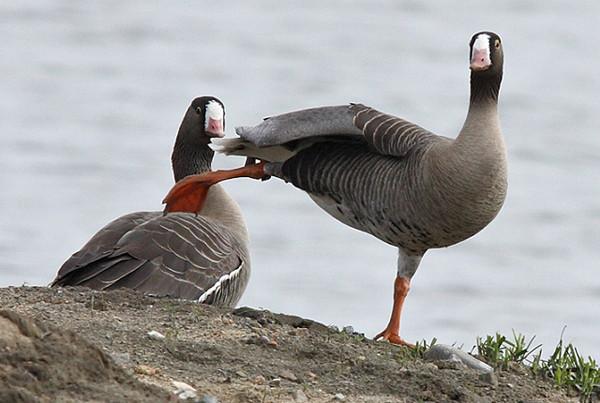 冬日青海湖的大天鹅之舞(吴光于 摄) 青海湖 高原天鹅湖 青海湖是我国最大的内陆咸水湖和国际重要湿地,是国家二级保护动物大天鹅主要越冬区域。近年来青海省对环湖地区生态及动植物保护力度不断加大,环湖生态植被恢复良好,湿地面积扩大,水生物质增多,使大天鹅越冬食物丰沛,生存环境更加惬意。 10月中旬至来年开湖前,大天鹅的倩影又在青海湖畔翩翩起舞。冬季的青海湖除了白雪皑皑,冰封壮阔外,鸟中仙子优雅的身姿为雪域圣湖增添了盎然生机和魅力,已成为青藏高原令人流连忘返的天鹅湖。 观鸟贴士 冬天,青海湖基本封湖之后,