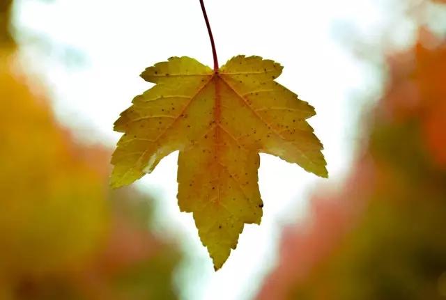 枫叶像一只只红蝴蝶从树上飘落纷纷扬扬