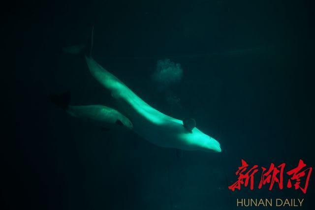 长沙海底世界小白鲸人工饲养繁殖成功