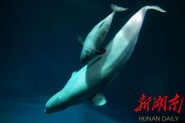 公共 长沙轮播图  小白鲸人工饲养繁殖成功 长沙海底世界白鲸家族添新