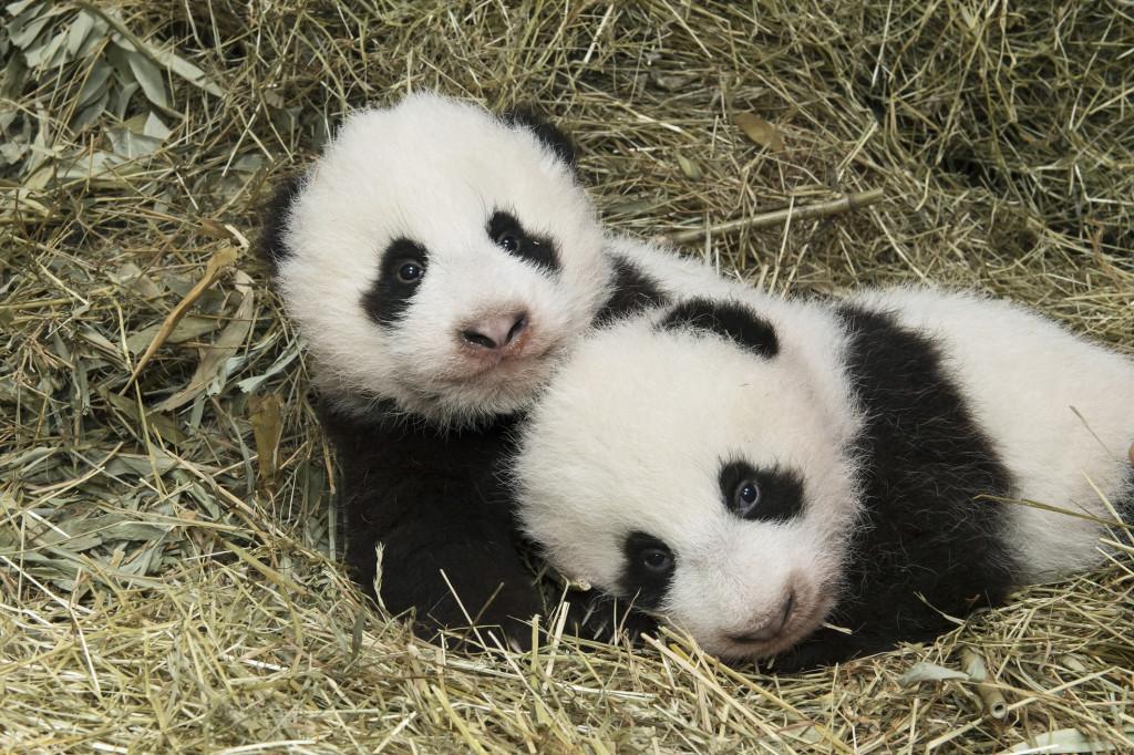 萌化了!猜猜维也纳美泉宫动物园的大熊猫双胞胎叫啥名