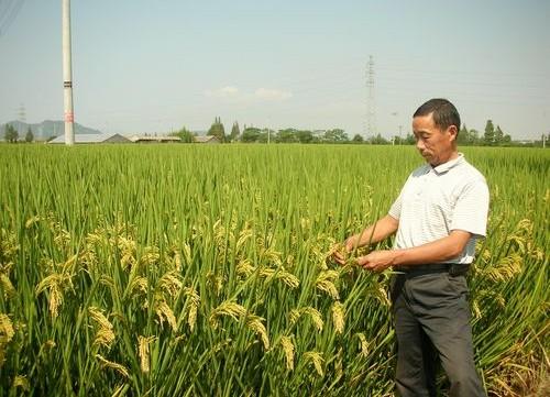 超级杂交稻再创新高,7个百亩片刷新多项单产纪录