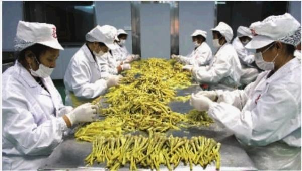 小小芦笋撬动22亿产值 贫困户年底分红达5000元