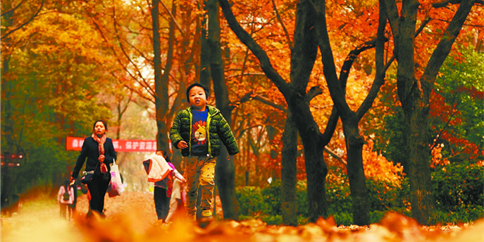 寒冬时节,湖南省森林植物园现金色枫景
