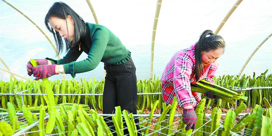 靖州苗族侗族自治县种出火龙果