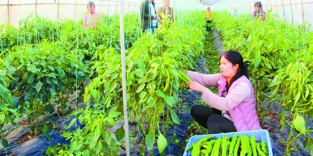 永州零陵区种植反季青椒助脱贫