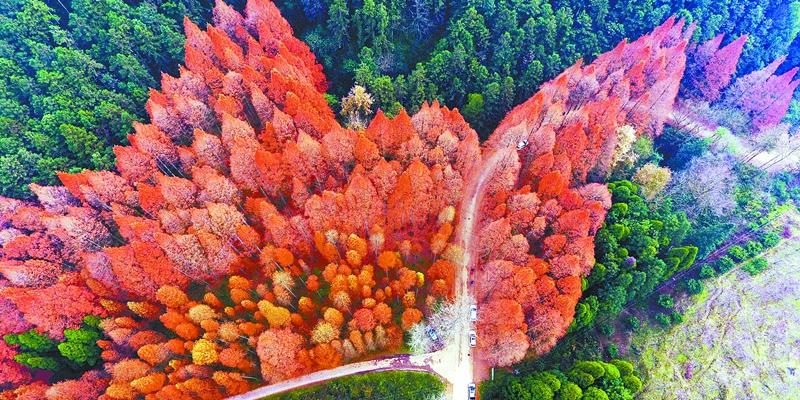 靖州县排牙山森林公园水杉林红了