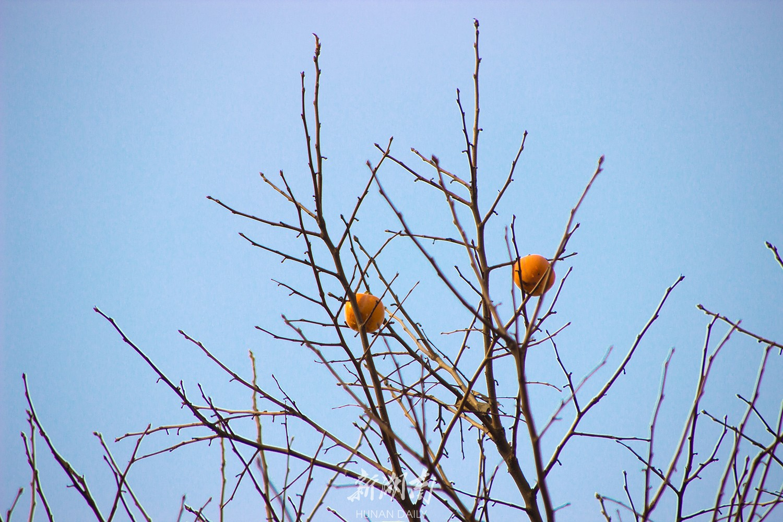 图赏 果子熟了