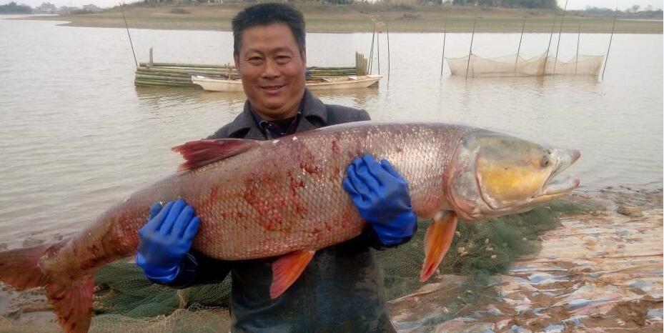 江西渔民捕获70余斤重超大�鱼