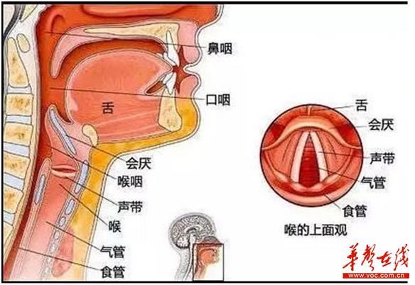 口腔喉部结构图