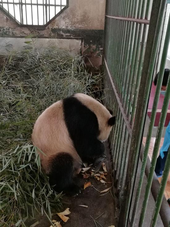 兰州动物园熊猫口吐白沫 官方回应称属正常现象