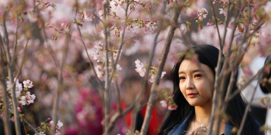 北京玉渊潭公园早樱绽放迎春 吸引游客赏樱踏春